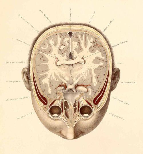 Anatomy--braun--