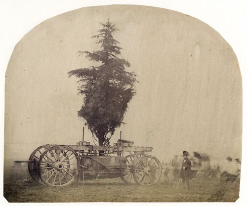 Transporting-a-Tree-on-a-Wagon