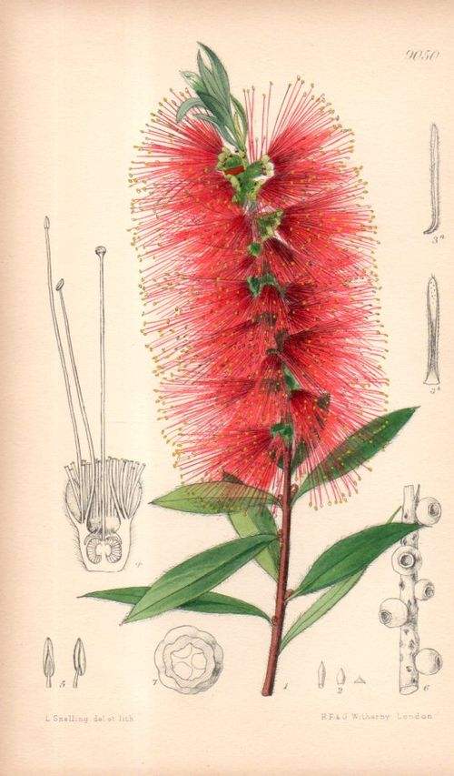 Botanical_callistemon106