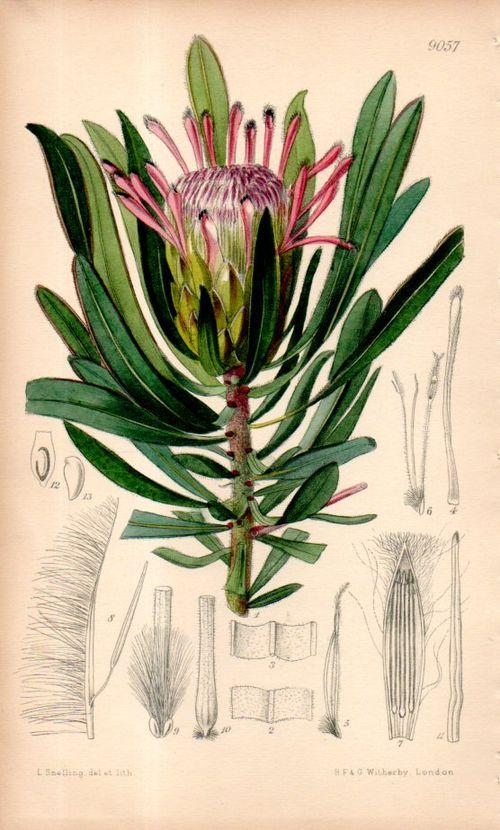 Botanical_protea104