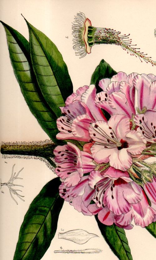 Botanical_rhododendron100