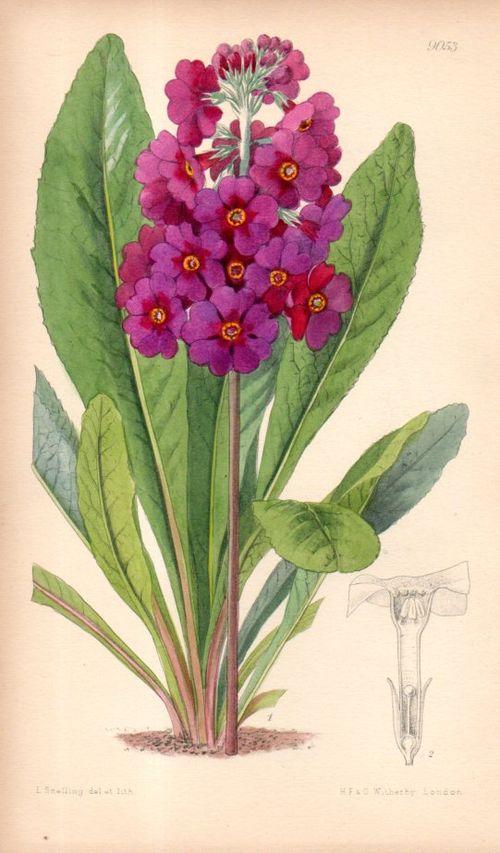 Botanical_primula105