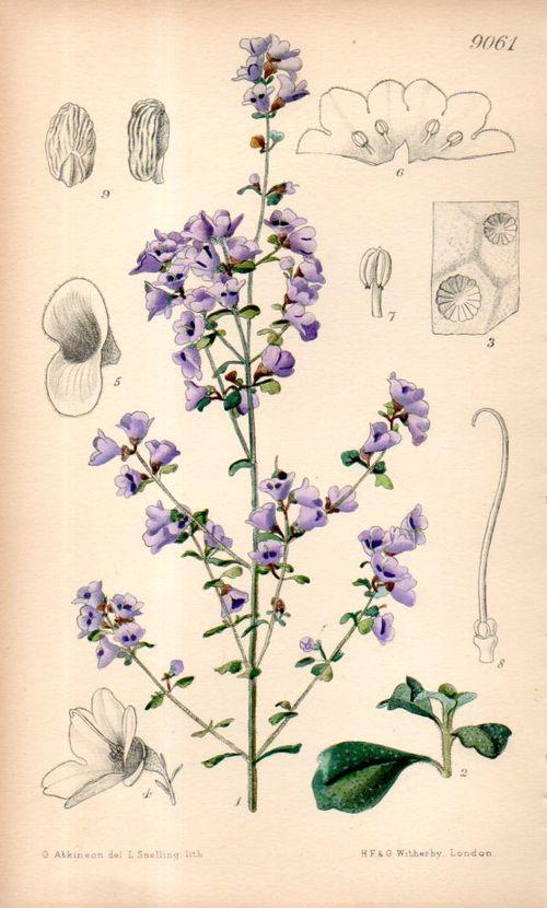 Botanical_prostanthera101