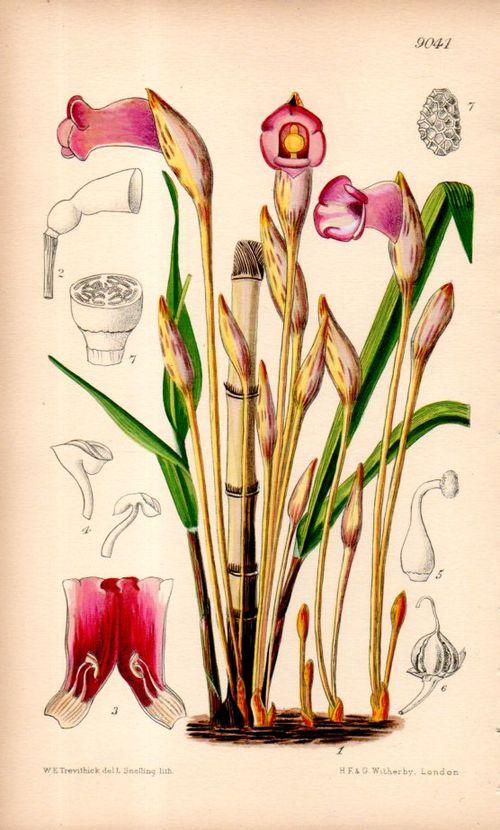 Botanical_aeginetia095