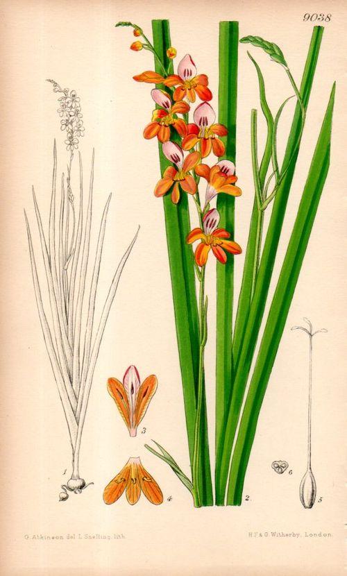 Botanical_montbretia097
