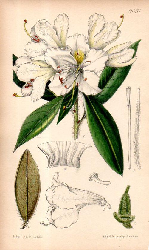 RAL--Botanical Rhododneron 9055114