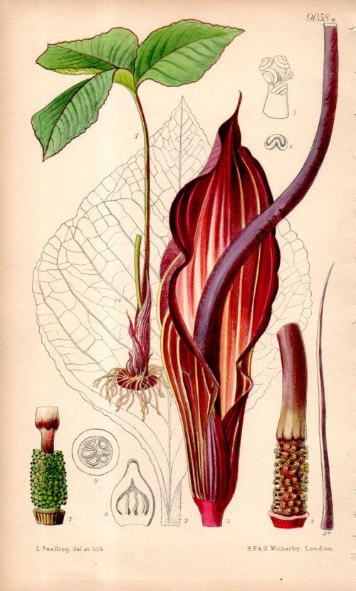 Botanical_arisema103