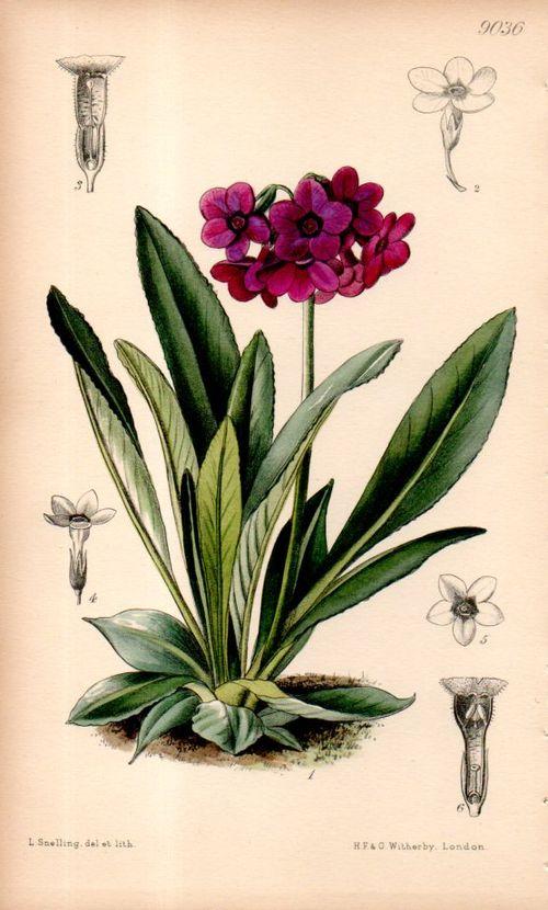 Botanical_primula099