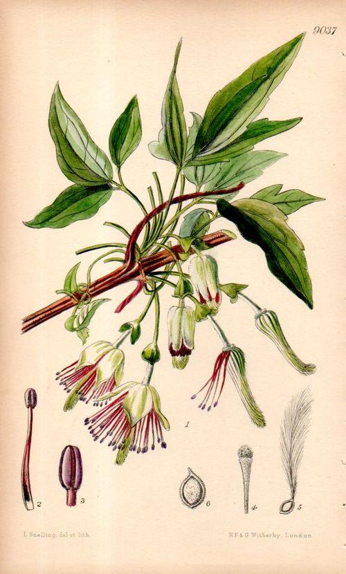 Botanical_clematis098