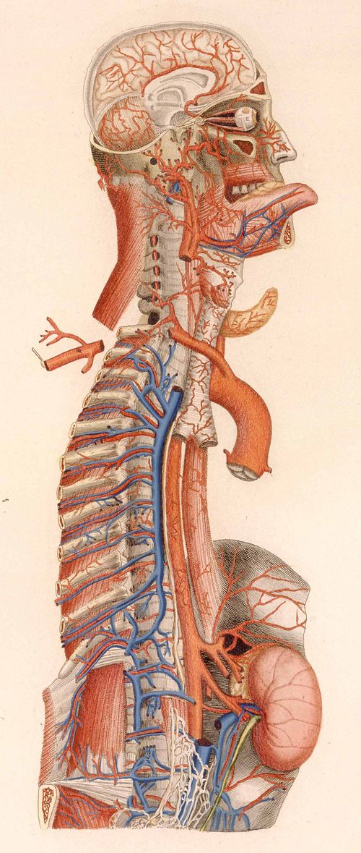 Anatomy--mascagni