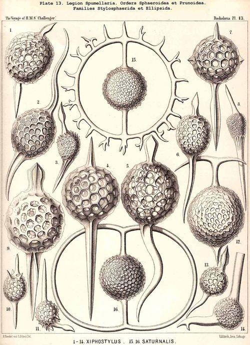 Haeckel 13