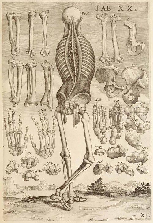 Anatomy da cortona