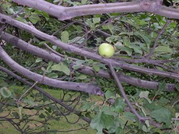 Newtons_apple_tree_at_mit